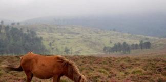 Nos montes de Galicia hai máis de 20.000 cabalos salvaxes. CSIC
