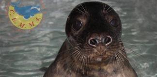"""""""Raciño"""", a foca gris ou lobo de mar que se recupera no Cemma."""
