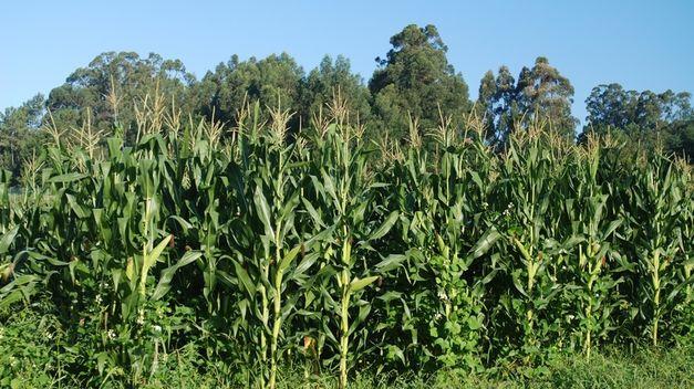 As investigacións céntranse na mellora xenética de cultivos coma o millo.