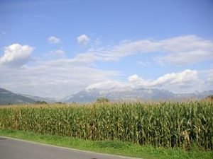Campos de millo. O Zea Mais chegou a Europa no século XVII.