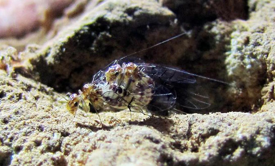 Insectos hembra con pene.