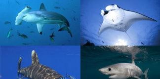 Especies protexidas de tiburón e mantas raia que a ONU quere protexer.