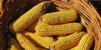 O estudo afonda en xenes relacionados co envellecemento das plantas de millo.