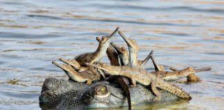 Udayan Rao Pawar é o autor desta foto, na que unha nai crocodila transporta ós seus cativos para que poidan atravesar o río. A imaxe foi captada o pasado ano no río Chambal, na India, onde reside o fotógrafo, que ten só 13 anos. Dunha familia humilde, Udayan logrou que a súa familia lle agasallase cunha modesta cámara, que emprega para facer fotos de natureza. Pero esta foto da familia de reptís fixo que gañase o Wildlife Photographer of the Year, na categoría xuvenil. Foto: Natural History Museum.
