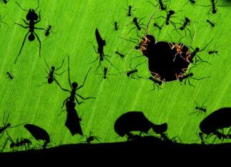Formigas podadoras
