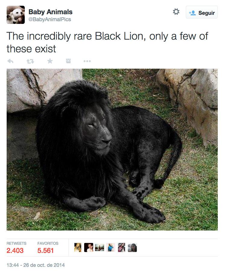 Tuit-leon-negro