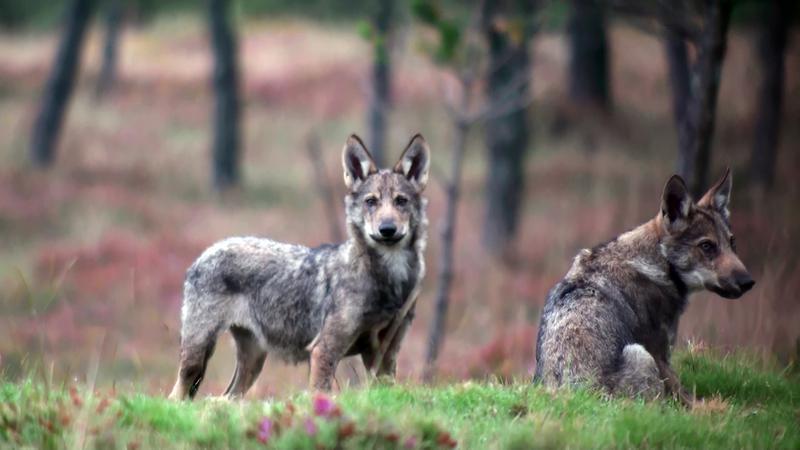 Dous exemplares de lobo ibérico. Foto: Francisco Javier Lema.