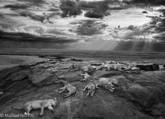 O fotógrafo americano Michael 'Nick' Nichols foi nomeado Fotógrafo de Natureza do ano 2014 por un xurado internacional. A fotografía, tomada en branco e negro, realizouse no parque nacional do Serengeti en Tanzania. 'Nick' Nichols seguiu a manda durante case seis meses ata que conseguiu que se afixesen á súa presenza e tomou a foto con luces infravermellas. Foto: NATURAL HISTORY MUSEUM