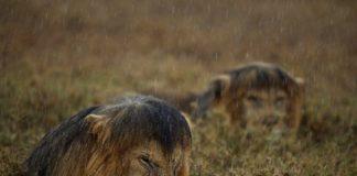 """O fotógrafo Michael Nichols, dos EUA, tirouen 2013 esta foto baixo a choiva de C-Boy, un león do parque nacional do Serengeti, en Tanzania. Está acompañado do seu compañeiro de coalición, Hildur. Ambos os dous eran os xefes da manda de leóns máis poderosa do parque. Pero foron depostos por unha partida de machos coñecidos polos investigadores como """"The Killers"""", Os Asasinos. Baixo a fina choiva do Serengeti, os que foron os reis da selva asimilan a súa derrota, quizáis pensando que veñan tempos mellores. A foto estivo nominada o Wildlife Photographer of the Year que concede o Natural History Museum de Londres. Publicamos a imaxe en GCiencia por cortesía do NHM."""