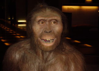 Hai 40 anos, o 24 de novembro de 1974, apareceu Lucy, o esqueleto fosilizado case completo dun homínido da especie Australopithecus Afarensis, de 3,2 millóns de anos de antigüidade, descuberto polo estadounidense Donald Johanson a 159 quilómetros ao sur de Adís Abeba, en Etiopía. A achega que fixo Lucy ao coñecemento da evolución foi espectacular. Ata ese ano non existían probas claras de bipedismo en ningunha especie con máis de 2 millóns de anos de antigüidade. Astralophitecus afarensis viviu en África hai 3,2 millóns de anos, e é un dos homínidos máis antigos que se coñecen. E sabemos que camiñaba ergueita, polo que Lucy pertence ó punto en que os homínidos comezaron a ter unha aparencia máis humana que simia. A famosa Lucy consérvase nunha caixa forte en Adis Abeba e hai reproducións do seu esqueleto nos máis grandes museos de historia natural. É toda unha celebridade. O seu nome tamén ten historia. Johanson e o seu equipo barallaban algúns nomes femininos cando comezou a soar na radio do campamento 'Lucy in the Sky with Diamonds', de The Beatles. Lucy foi o nome escollido case por unanimidade.