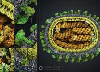 """Este é o mellor retrato xamáis feito dun incómodo hóspede que xa comeza a visitarnos este ano. Ilustradores biomédicos da compañía rusa Visual Science, co asesoramento de investigadores do Centro Nacional de Biotecnoloxía (CSIC), crearon """"o modelo 3D científicamente máis preciso do virus da gripe"""". Trátase do primeiro modelo tridimensional do influenzavirus A subtipo H1N1, máis coñecido como A/H1N1, un dos máis comúns e letais do mundo. As diferentes cepas do virus da gripe que van xurdindo ao longo do tempo difiren principalmente por dúas proteínas da súa superficie, que acumulan cambios mutacionais moi rapidamente, aumentando así a diversidade do microorganismo e complicando o seu tratamento cos antivirais e vacinas que os expertos recomendan aplicar cada ano. O virión ou partícula viral ten un diámetro de entre 80 e 120 nanómetros, cun aspecto xeralmente esférico. A súa forma vén determinada por unha capa de proteína matriz, que actúa como compoñente estrutural baixo da membrana, servindo de enlace entre as proteínas superficiais e o xenoma do interior. Na membrana hai dous tipos de proteínas: a hemaglutinina, que se une aos receptores da célula para que as membranas viral e celular se fusionen e poida penetrar o xenoma vírico dentro do citoplasma; e a neuraminidasa, que axuda aos virións recén formados a separarse da membrana da célula hóspede para saír e buscar novas 'vítimas'. Tamén se atopan aquí as canles proteicas (M2) que resultan cruciais cando o virus se 'desempaqueta', ademais de compostos lipídicos roubados á célula hóspede cando o patóxeno emerxe por xemación. Dentro do virón está o seu xenoma, constituído por oito moléculas de ARN de varias lonxitudes, que se asocian a filamentos de nucleoproteínas para formar grandes espirais. Ademais aparece o complexo da polimerasa, unha encima que axuda a xerar novas copias do ARN, algúns dos cales se utilizan para fabricar máis proteínas virais e outras se empaquetan en novos virus."""