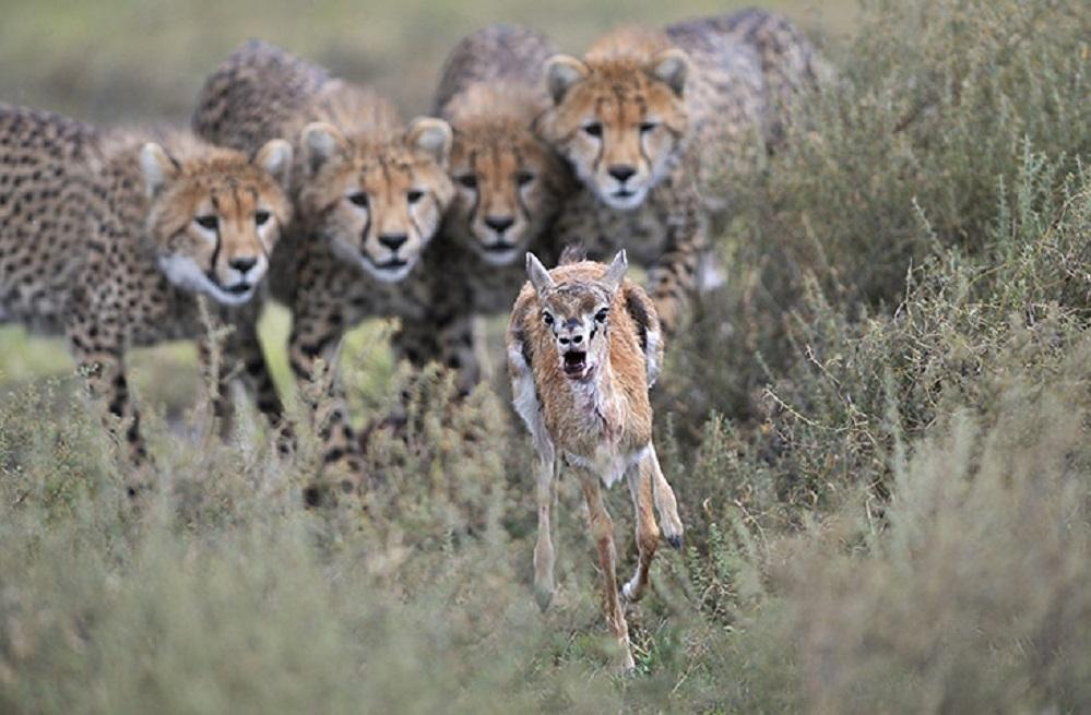 Unha gacela Thomson corre para salvar a súa vida, perseguida por unha manda de guepardos. A foto foi tomada por Grégoire Bouguereau no Parque Nacional do Serengueti, en Tanzania, e recibiu unha mención especial no Wildlife Photographer of the Year. Foto: Natural History Museum