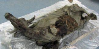 Un equipo internacional de investigadores descubriu en Siberia a momia conxelada dun bisonte de 9.000 anos de antigüidade. O animal conserva o cerebro completo, o corazón, os vasos sanguíneos e o sistema dixestivo. Moitos grandes e carismáticos mamíferos, como o bisonte da estepa (Bison priscus) extinguíronse a finais da Idade de Xeo -hai aproximadamente 11.000 anos-. Un equipo de investigadores liderado pola Academia Rusa de Ciencias en Moscú achou en Siberia Oriental un destes bisontes literalmente conxelado no tempo. O descubrimento publicouse na revista Journal of Vertebrate Paleontology. Trátase da momia conxelada máis completa desta especie coñecida ata o momento e tería unha idade de 9.300 anos. Foi descuberta recentemente nas terras baixas de Yana-Indigirka (Siberia). Foto: Olga Potapova.