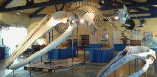 Do teito do Museo da Natureza de Ferrol pendura o esqueleto completo dunha balea de aleta (Balaenoptera physalus) de 18 metros.