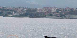 A Coordinadora para o Estudo dos Mamíferos Mariños (CEMMA) fai un traballo enorme para rescatar golfiños, focas e tartarugas que aparecen varados na costa de Galicia. Tamén estudan a vida nas nosas rías destes animais sempre ameazados. Nestas datas de Nadal, saíron de misión pola ría de Vigo e atoparon varias mandas de golfiños entre Vigo e Cangas. Podes seguir a actividade da CEMMA na súa páxina web: www.cemma.org