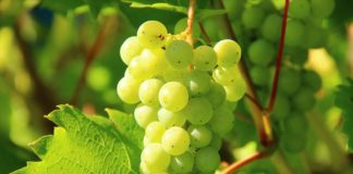 iGrape use the antioxidants of the chaff of the grapes.