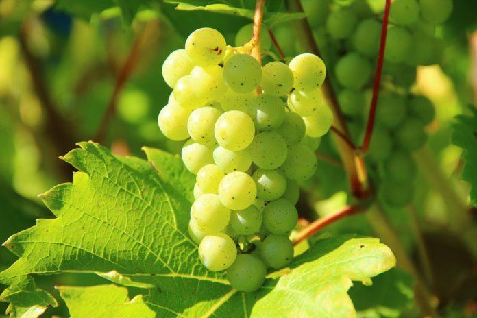 Los polifenoles de la uva tienen propiedades antioxidantes.