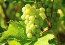 O bagazo da uva contén polifenois antioxidantes.