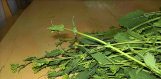 Grelos (en la imagen, una planta) y berzas fueron estudiados por la Misión Biológica.