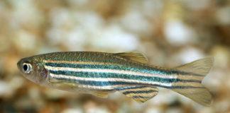 O peixe cebra é a cobaia dos peixes en experimentación.