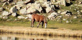 Hai cambios xenéticos que os investigadores atribúen á doma do cabalo.