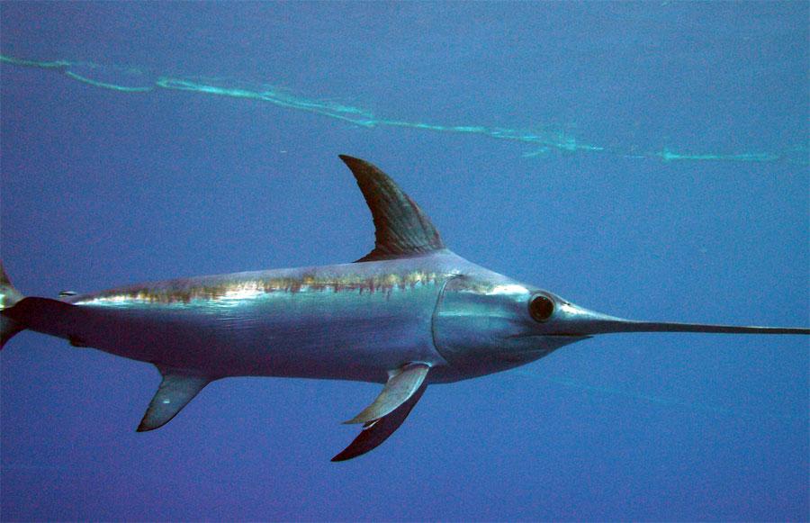 Ejemplar de pez espada