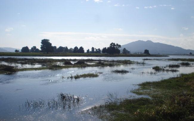 A ameixa asiática medra nos ríos galegos.