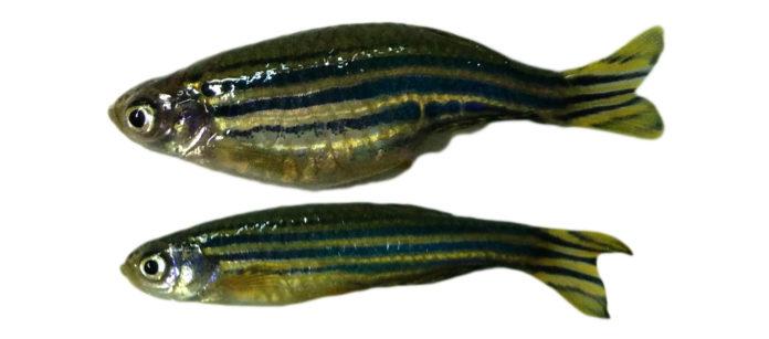 O peixe cebra sometido a obesidade fixo posible a investigación.