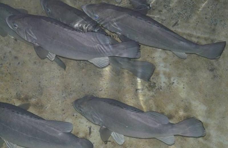 Meros cultivados en piscifactoría no Centro Oceanográfico de Vigo.