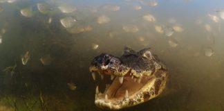O fotógrafo Luciano Candisani gañou con esta foto o Wildlife Photographer of the Year na súa categoría de animais de sangue frío. Trátase do premio de fotografía de natureza máis prestixioso do mundo, que concede o Natural History Museum de Londres. A imaxe foi captada en 2012 en Brasil. E vemos un caimán, un réptil do xénero dos crocodrilos, pero de menor tamaño, que habita nos ríos de América.