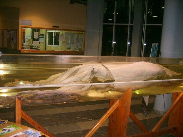 Exemplar de lura xigante que se conserva na Universidade de Vigo.