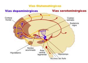 Corte do cerebro coas principais zonas afectadas pola esquizofrenia.