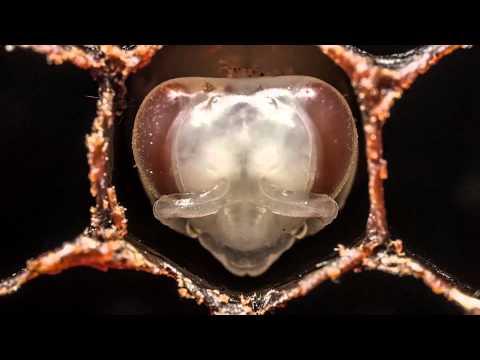 Unha das etapas da metamorfose das abellas.