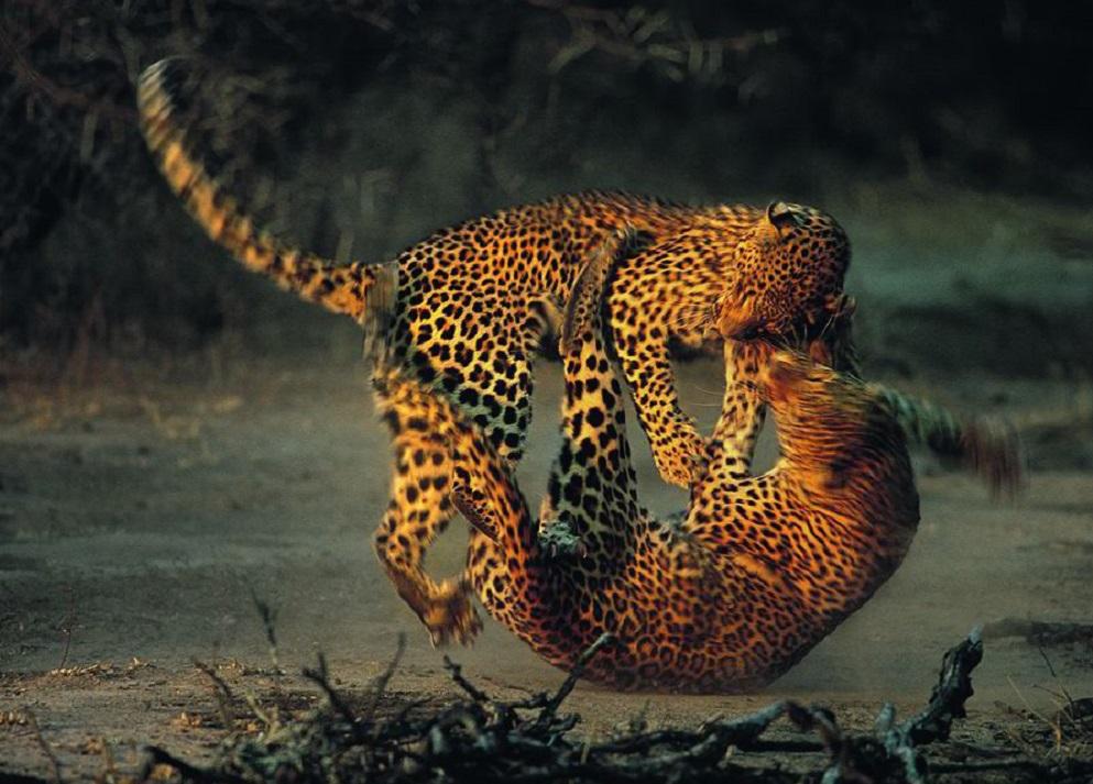 Estes dous leopardos combaten no Parque Nacional Kruger, en Sudáfrica. A foto, tomada por Richard du Toit, gañou un premio sobre vida salvaxe Wildlife Photographer of the Year. O leopardo é un dos catro grandes felinos do xénero 'Panthera', xunto co tigre, o león e o xaguar. Todos eles teñen como característica común que poden emitir ruxidos. Como todos os do seu xénero, son animais territoriais, o que leva a conflictos cos seus veciños. Que rematan en liortas como a desta imaxe.