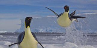 Paul Niclen tomou esta foto duns pingüíns na Antártida, que lle valeu unha mención especial no certame Wildlife Photographer of the Year. Os exemplares son pingüíns emperador, os máis grandes desta especie, que como adultos miden máis dun metro de alto e pesan ata 30 quilos. Normalmente, viven uns 20 anos, aínda que hai casos documentados de individuos que chegaron aos 50 anos de vida.