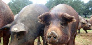 Porcos da variedade Duroc Jersey, a mellor parella da porca celta.