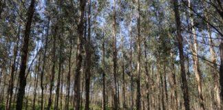 eucaliptos ence