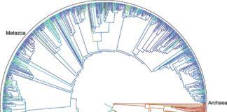 """A Universidade de Duke (Estados Unidos), xunto a outros 11 centros, acaba de presentar en PNAS un primeiro borrador da árbore da vida dos 2,3 millóns de especies de animais, plantas, fungos e microbios coñecidos. O resultado é un recurso dixital en liña gratuíto, que se asemella a unha """"wikipedia das árbores evolutivas"""" pola que se pode navegar e que tamén é descargable. A árbore representa as relacións entre os seres vivos desde que se separaron evolutivamente entre si ata o comezo da vida na Terra fai máis de 3.500 millóns de anos. Decenas de miles de árbores máis pequenas publicáronse nos últimos anos para certas ramas da árbore da vida (algunhas con máis de 100.000 especies) pero esta é a primeira vez que eses resultados combináronse nunha soa árbore que abarca toda a vida. """"Este é o primeiro intento real de conectar os puntos e xuntalo todo"""", di Karen Cranston, da Universidade de *Duke. """"Pensen niso como a versión 1.0"""", engade. A árbore tamén vai evolucionar. Comprender como as especies están relacionadas entre si axuda a descubrir novos fármacos, aumentar os rendementos agrícolas e gandeiros, e trazar as orixes e a propagación de enfermidades infecciosas como o VIH, o Ébola ou a gripe. [A árbore da vida está dispoñible neste enderezo: https://tree.opentreeoflife.org/opentree/argus/opentree3.0@1 ]"""