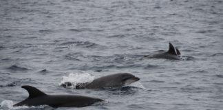 Los delfines son habituales en las rías gallegas y objeto de protección y estudio por CEMMA.