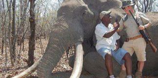 """Un cazador alemán abateu en Zimbabue a un dos elefantes máis grandes xamais coñecidos. O feito reavivou a polémica sobre a caza maior suscitada neste país pola morte do famoso león Cecil en xullo, a mans dun dentista estadounidense. """"Os cairos do elefante eran tan grandes, cun peso de 55 quilos, que os arrastraba polo chan cando camiñaba"""", dixo un membro do Grupo de Traballo de Conservación de Zimbabwe, Johnny Rodrigues. O elefante, de entre 40 e 60 anos, foi morto preto do Parque Nacional Gonarezhou de Zimbabue durante unha """"cacería legal"""", na que participou un alemán que estaba de safari, informaron os conservacionistas da reserva, no sueste do país e moi próxima a Sudáfrica. Segundo informou o diario británico The Telegraph, o cazador alemán habería pagado uns 60.000 dólares para cazar ao animal."""