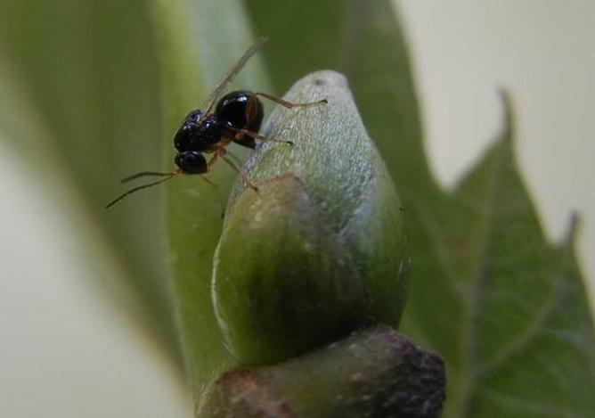 A avespiña asiática Dryocosmus kuriphilus, en acción.