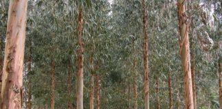 Plantación de eucaliptos.