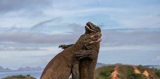 O fotógrafo ruso Andrey Gudkov é finalista do certame Wildlife Photographer of the Year (WPY) por esta imaxe de dous dragóns de Komodo en plena pelexa territorial. A foto foi tomada na illa de Rinca, en Indonesia. Os dragóns de Komodo son os máis grandes lagartos do mundo, chegando a medir 3 metros e ata 136 quilogramos. Estes saurios aliméntanse de cervos, búfalos, porcos e, en ocasións, mesmo seres humanos. A súa saliva contén un cóctel de bacterias que mata ás súas vítimas por envelenamento do seu sangue. A foto é un adianto dos WPY que concede o Natural History Museum de Londres, que está a piques de dar a coñecer o palmarés completo dos seus premios. (WPY, Natural History Museum)