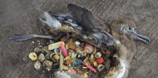 Restos dun ave mariña, co seu estómago cargado de plásticos inxeridos.
