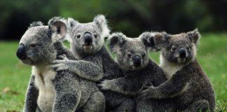 """A clamidia é unha bacteria que ten ós koalas en perigo de extinción. A súa infección provoca infertilidade e nos últimos anos levou a un dramático descenso da súa poboación. Por iso, científicos australianos defenden que unha campaña agresiva de sacrificio axudaría a combater esta doenza. """"Tratar a aqueles que están moderadamente enfermos e matar aos que teñen a enfermidade avanzada e non é posible tratar con antibióticos, provocará finalmente un aumento no número de koalas"""", dixo o xefe dos investigadores, David Wilson, da Universidade de Nova Gales do Sur. Unha investigación realizou centos de estudos de simulación na poboación de koalas de Moreton Bay, no nordés australiano, en diversos escenarios, que incluíron desde o tratamento dos animais infectados con clamidia ata a matanza sistemática dos exemplares sen viabilidade. """"As simulacións suxiren que existe unha forte posibilidade de eliminar a clamidia na poboación nun prazo de catro anos"""", segundo este estudo publicado na revista científica 'Journal of Wildlife Diseases. O número de koalas en estado salvaxe varían, segundo as distintas estimacións, entre varios centenares de miles a uns 40.000, aínda que o seu número continúa decrecendo."""