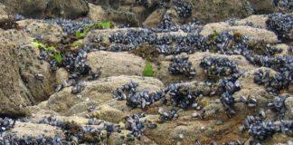 O mexillón pigmeo invade as rochas do interior das Rías Baixas.