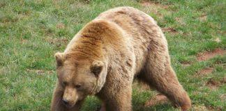 O oso pardo avistado na fronteira pode proceder de zonas con maior densidade ao longo da cornixa cantábrica.