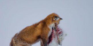 O canadense Don Gutoski foi gañador este ano do concurso fotográfico Wildlife Photographer of the Year, convocado polo Museo de Historia Natural de Londres, por capturar este impresionante momento na xélida tundra canadense. Naquelas latitudes, o cambio climático impulsou aos raposos vermellos a estenderse cara ao norte, onde tamén habitan uns parentes seus máis pequenos, os raposos árticos. Para estes, a chegada dos devanditos visitantes supón, non só a aparición dun novo competidor, senón tamén unha ameaza por converterse no seu principal predador. O día que o autor tomou esta imaxe decatouse, dende a distancia, de que un raposo vermello estaba a perseguir algo na neve, e ao achegarse máis, comprobou que a súa presa era un raposo ártico. Para conseguir a fotografía desexada, Gutoski permaneceu durante tres horas contemplando a escena a 30 ºC baixo cero ata que o cazador deu morte ao seu obxectivo. De momento, casos como o que se ve aquí presenciáronse en contadas ocasións, pero é probable que os conflitos entre ambos os mamíferos se deab con máis frecuencia no futuro.