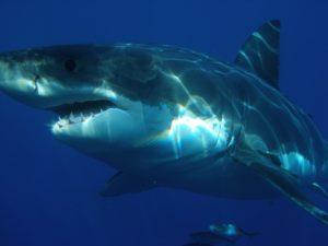 O tiburón, un depredador agora ameazado.