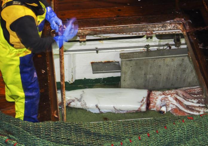 A lura xigante capturada o marte en Asturias polo arrastreiro Minchos Sexto, de Viveiro